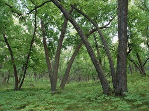 American Elm (Ulmus Americana) Old Growth Forest in Sully Hill, South Dakota by Gerry Ellis