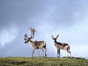 Caribou (Rangifer Tarandus) Silhouetted Against Sky, Alaska by Gerry Ellis
