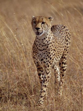 Cheetah (Acinonyx Jubatus), Walking on Savannah, Masai Mara National Reserve, Kenya