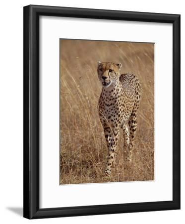 Cheetah (Acinonyx Jubatus), Walking on Savannah, Masai Mara National Reserve, Kenya