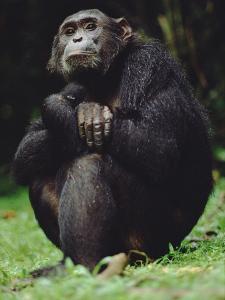 Chimpanzee (Pan Troglodytes), Gombe Stream National Park, Tanzania by Gerry Ellis