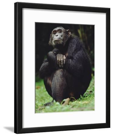 Chimpanzee (Pan Troglodytes), Gombe Stream National Park, Tanzania