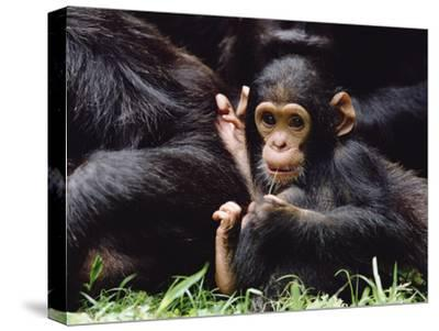 Chimpanzee (Pan Troglodytes) Mom and Baby, Gombe Stream National Park, Tanzania