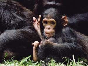 Chimpanzee (Pan Troglodytes) Mom and Baby, Gombe Stream National Park, Tanzania by Gerry Ellis