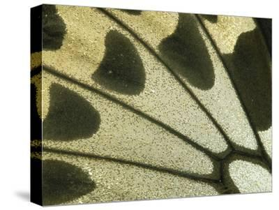Detail of Birdwing Butterfly (Ornithoptera Croesus) Wing, Female, Papua New Guinea