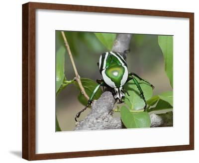 Emerald Fruit Chafer Beetle (Dicronorrhina Derbyana) on Branch Among Leaves, Zimbabwe