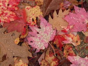 Fall Leaf Pattern Close-Up, Eastern Hardwood Forest, Allegheny National Forest, Pennsylvania by Gerry Ellis