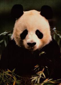 Giant Panda Feeding on Bamboo by Gerry Ellis