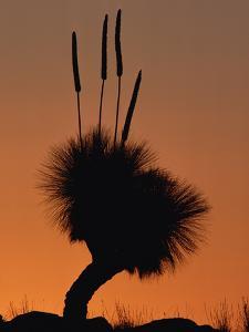Grass Tree (Xanthorrhoea Preissii) also known as Blackboy, Found in Arid Areas, Australia by Gerry Ellis