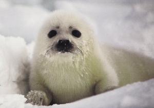 Harp Seal Pup by Gerry Ellis