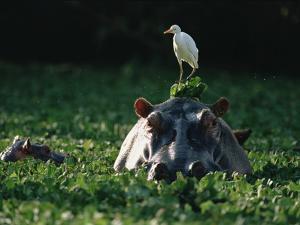 Hippopotamus (Hippopotamus Amphibius) with Cattle Egret (Bulbulcus Ibis) on Head by Gerry Ellis
