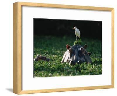 Hippopotamus (Hippopotamus Amphibius) with Cattle Egret (Bulbulcus Ibis) on Head