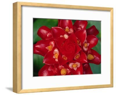 Indonesian Wax Ginger (Tapeinochilus Ananassae) Flower, Indonesia and Papua New Guinea