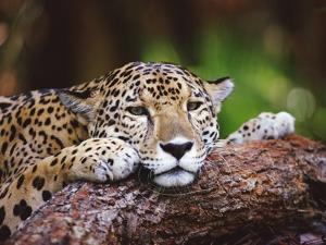 Jaguar (Panthera Onca), Belize Zoo, Belize by Gerry Ellis