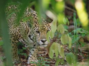 Jaguar (Panthera Onca) Slinking Through Vegetation, Belize Zoo, Belize by Gerry Ellis