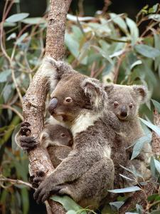 Koala (Phascolarctos Cinereus) Mother with Joey and Orphan, Eastern Forested Australia by Gerry Ellis