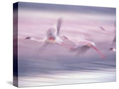 Lesser Flamingo (Phoenicopterus Minor) Flock Flying at Lake Biogorias National Park, Kenya