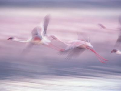 Lesser Flamingo (Phoenicopterus Minor) Flock Flying at Lake Biogorias National Park, Kenya