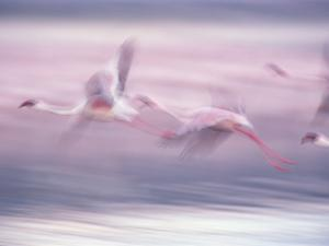 Lesser Flamingo (Phoenicopterus Minor) Flock Flying at Lake Biogorias National Park, Kenya by Gerry Ellis