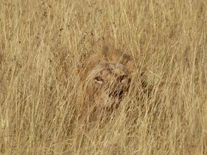 Lion (Panthera Leo) Young Male Camouflaged in Tall Grass, Masai Mara, Kenya by Gerry Ellis