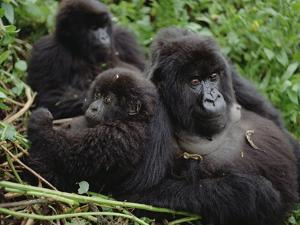 Mountain Gorillas (Gorilla Gorilla Beringei) Female, Virunga Mountains by Gerry Ellis