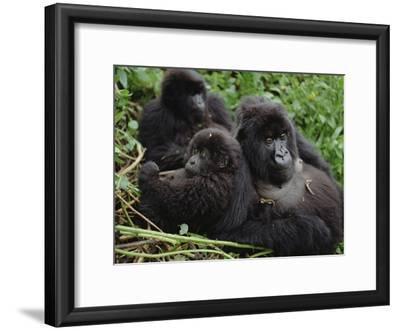 Mountain Gorillas (Gorilla Gorilla Beringei) Female, Virunga Mountains