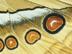 Northern Jungle Queen (Stichophthalma Camadeva) Female, India by Gerry Ellis