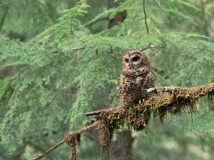 Northern Spotted Owl (Strix Occidentalis Caphus) Perching on Branch in Forest by Gerry Ellis