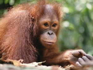 Orangutan (Pongo Pygmaeus), Orangutan Wildlife Center, Borneo by Gerry Ellis