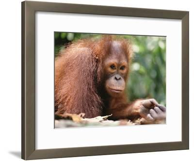 Orangutan (Pongo Pygmaeus), Orangutan Wildlife Center, Borneo