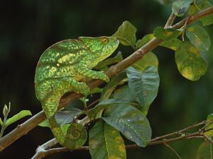 Parson's Chameleon (Chamaeleo Parsonii) Female, Eastern Rainforest, Madagascar by Gerry Ellis