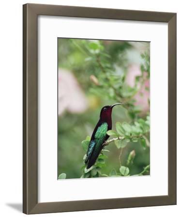 Purple-Throated Carib (Eulampis Jugularis) Hummingbird, Perching, Lesser Antilles