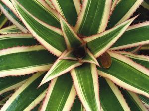 Red Pineapple Bromeliad (Ananas Comosus Varig) Top View, Trinidad, Caribbean by Gerry Ellis