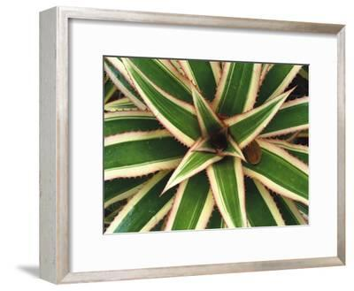 Red Pineapple Bromeliad (Ananas Comosus Varig) Top View, Trinidad, Caribbean
