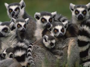 Ring-Tailed Lemur (Lemur Catta) Group, Washington Park Zoo, Portland, Oregon by Gerry Ellis