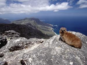 Rock Hyrax (Procavia Capensis) Resting on Rock, Table Mountain, Cape Town, South Africa by Gerry Ellis