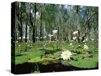 Sacred Lotus (Nelumbo Nucifera) in Bloom on Billabong, Kakadu National Park, Australia