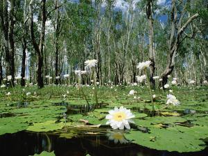 Sacred Lotus (Nelumbo Nucifera) in Bloom on Billabong, Kakadu National Park, Australia by Gerry Ellis