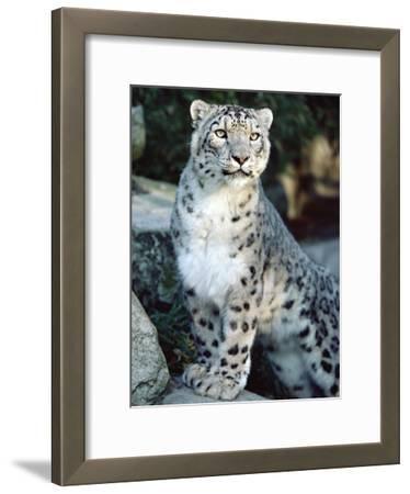 Snow Leopard (Uncia Uncia), Woodland Park Zoo, Seattle, Washington