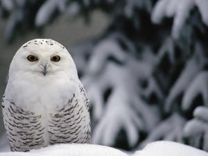 Snowy Owl (Nyctea Scandiaca) Camouflaged Against Snow, North America by Gerry Ellis