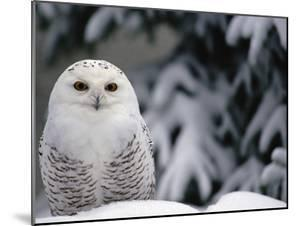 Snowy Owl (Nyctea Scandiaca) Camouflaged Against Snow, North America by Gerry Ellis