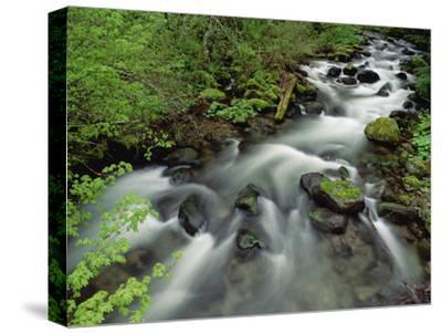 Spring Vine Maple Leaves over Still Creek, Mt Hood National Forest, Oregon