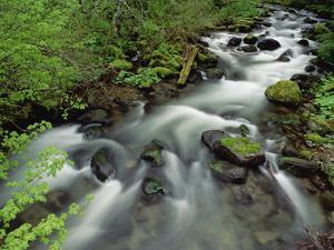 Spring Vine Maple Leaves over Still Creek, Mt Hood National Forest, Oregon by Gerry Ellis