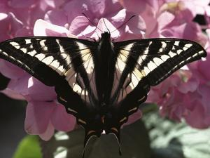 Tiger Swallowtail Butterfly (Papilio Glaucus) Perching on Pink Flowers, North America by Gerry Ellis