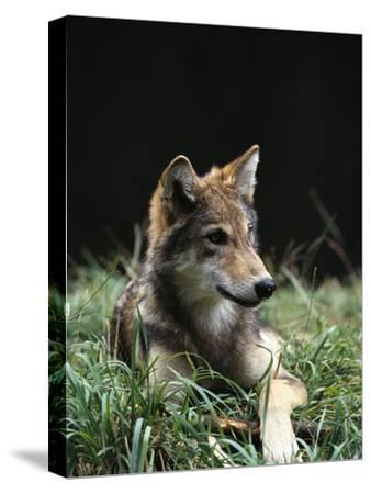 Timber Wolf (Canis Lupus) of Four Month Old Pup, Oregon Zoo, Portland, Oregon