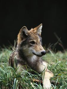 Timber Wolf (Canis Lupus) of Four Month Old Pup, Oregon Zoo, Portland, Oregon by Gerry Ellis
