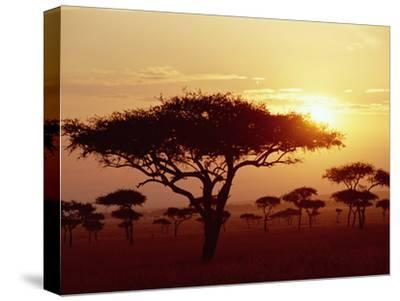 Umbrella Acacia (Acacia Tortills), Trees at Sunrise on Savannah, Masai Mara, Kenya