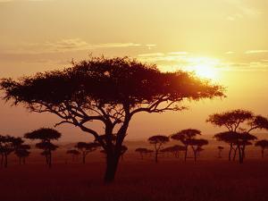 Umbrella Acacia (Acacia Tortills), Trees at Sunrise on Savannah, Masai Mara, Kenya by Gerry Ellis