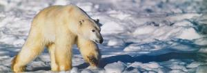 Walking on the Ice by Gerry Ellis