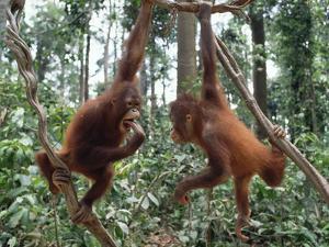 Young Orangutans (Pongo Pygmaeus) Pair Playing in Trees, Borneo by Gerry Ellis